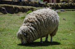 Het wollige ooi eten stock afbeeldingen