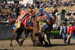 Het worstelen van de kameel Stock Afbeeldingen