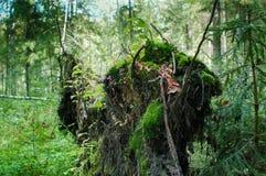 Het wortelsysteem van een gevallen boom Royalty-vrije Stock Afbeeldingen