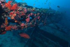 Het wrak en rode tandbaars Indische Oceaan van het schip onderwater stock foto's