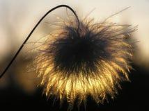 Het zaad van clematissen bij zonsondergang royalty-vrije stock afbeeldingen
