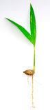Het Zaad van de palm Stock Foto
