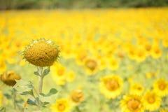 Het Zaad van de zonbloem Stock Fotografie