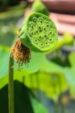 Het Zaad van Lotus Stock Foto