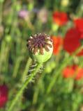 Het zaadbol van de papaver tegen groen gras Stock Afbeeldingen