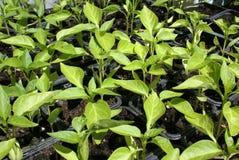 Het zaaien van groene paprika's Stock Afbeelding