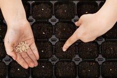 Het zaaien van tomatenzaden in germinatiedienblad Stock Foto