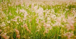 Het zachte gras van de bloem Royalty-vrije Stock Foto's