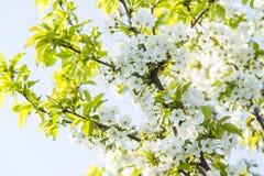 Het zachte witte pruimbloesems bloeien stock foto's