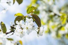 Het zachte witte pruimbloesems bloeien stock afbeelding