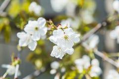 Het zachte witte pruimbloesems bloeien royalty-vrije stock foto