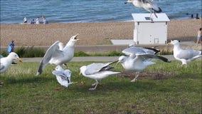 Het zeemeeuwenwild op de kust van Kent stock footage