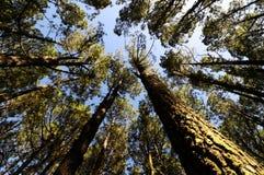 Het zeer Hoge Bos van het Pijnboomhout Stock Afbeeldingen