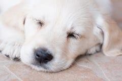Het zeer jonge golden retrieverpuppy slaapt, portretclose-up Royalty-vrije Stock Foto