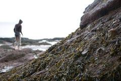 Het zeewier van de eb stock afbeelding