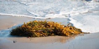 Het Zeewier van het strand Stock Foto's