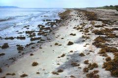 Het Zeewier van Sargassum op het strand Stock Foto