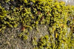 Het zeewier verankerde aan concrete muur tussen ebteken en vloedteken St Ives Cornwall England het UK Royalty-vrije Stock Foto
