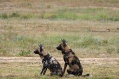 Het zeldzame waarnemen van Afrikaanse wilde honden, gefotografeerd in Sabi Sands Game Reserve, Kruger, Zuid-Afrika stock foto's