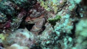 Het zetten van en het eten van krab in het ertsadergat stock footage
