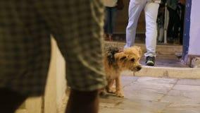 Het zieke en hongerige verdwaalde hond krassen in straat, ongelukkig dierlijk eenzaam gevoel stock video