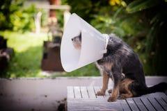 Het zieke hond dragen Royalty-vrije Stock Foto's