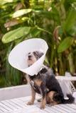 Het zieke hond dragen Stock Foto's