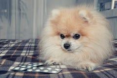Het zieke Pomeranian-puppy at heel wat chocolade liggend naast de pillen voor behandeling na een bezoek aan veterinair royalty-vrije stock foto's
