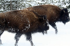 Het zien van oog aan oog met buffelsbizon royalty-vrije stock afbeelding