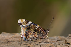 Het zijaanzicht van admiraalvlinderButterfly met gesloten vleugels, close-up selec royalty-vrije stock fotografie