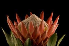 Het zijaanzicht van de Close-up van Protea van de koning royalty-vrije stock afbeelding