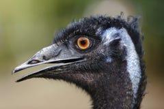 Het zijaanzicht van de emoe Stock Fotografie
