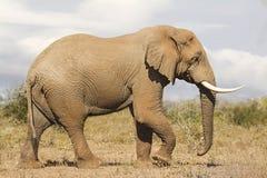 Het zijaanzicht van de olifantsstier Stock Foto