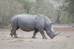 Het zijaanzicht van de rinocerosstier Royalty-vrije Stock Fotografie