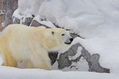 Het zijaanzicht van een ijsbeer die rond rots op sneeuw lopen royalty-vrije stock afbeeldingen