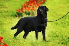 Het zijaanzicht van Labrador Stock Afbeelding