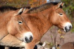 Het zijaanzicht van Przewalski` s paarden Royalty-vrije Stock Afbeelding
