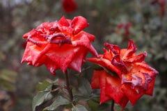 Het zijaanzicht van rood twee nam bloem in de herfsttuin toe Schot in uitstekende kleur, selectieve nadruk vage achtergrond wordt Stock Foto's