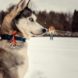 Het zijclose-upportret van mooie Siberische schor op de vage achtergrond van de rode hoofdvrouw Bloem in de sneeuw stock afbeeldingen