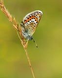 Het zilver besloeg Blauwe Vlinder die beneden gaat Stock Fotografie