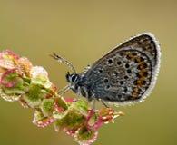 Het zilver besloeg Blauwe Vlinder met ochtenddageraad aangaande Stock Afbeelding