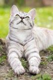 Het zilver tigrated kat met groene ogen stock foto