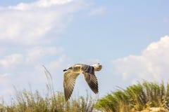 Het zilveren meeuw vliegen Royalty-vrije Stock Afbeeldingen