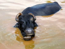 Het zingen Buffels Stock Foto