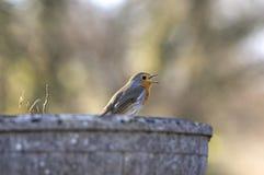 Het zingen Robin roodborstje Stock Afbeelding