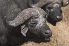 Het zingen van buffels royalty-vrije stock afbeelding