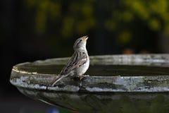 Het Zingen van de vogel Stock Fotografie