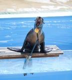Het zingen van de zeeleeuw stock fotografie