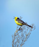 Het zingen vogel Royalty-vrije Stock Foto