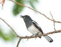 Het zingen Vogel royalty-vrije stock foto's